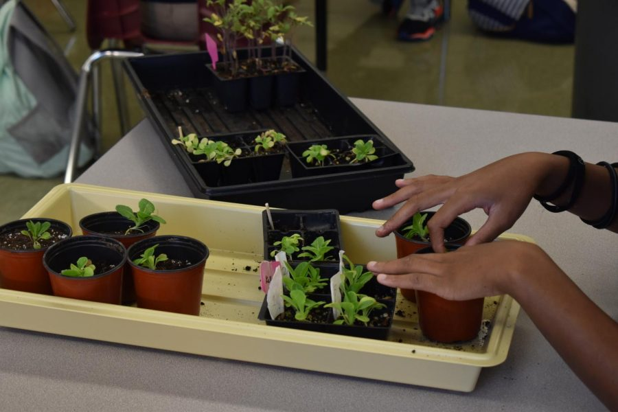 Hybrid students have been caring for these plants since returning in March.  Now, they are reaching maturity.